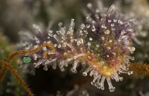 Trichome Art Studio