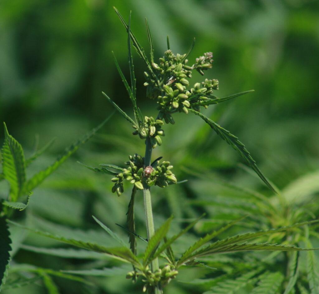 Male hemp plant